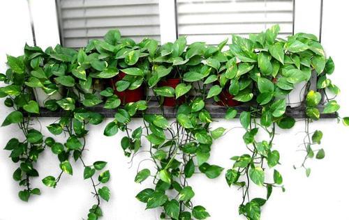植物吸附甲醛